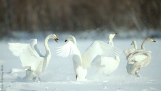 Whooper Swan • Cygnus cygnus • Lake Kushiro, Japan Photo ©Jeffrey Rich