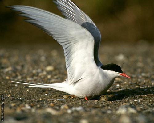Arctic Tern • Sterna paradisaea • Nome, Alaska Photo ©Jeffrey Rich