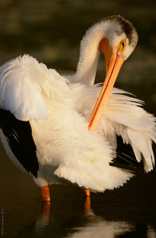 American White Pelican (Pelecanus erythrorhynchos) at Tule Lake NWR, California. ©Jeffrey Rich