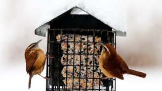 Carolina Wrens at a suet feeder. Photo by Peggy Lawrey