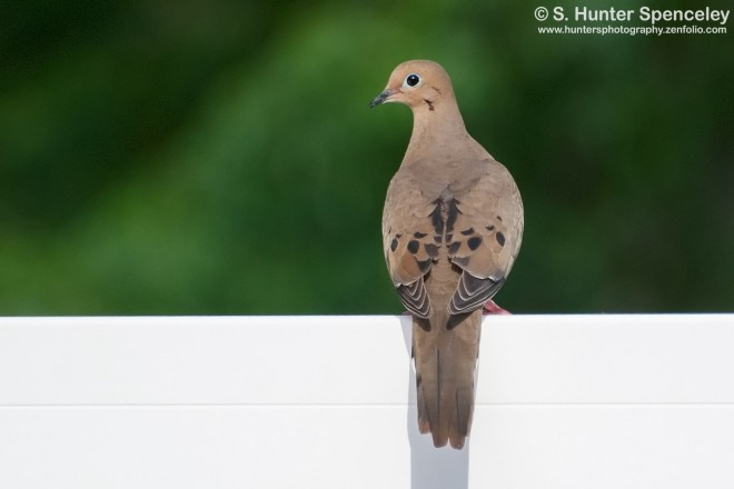 23DSC_2823-Mourning-Dove
