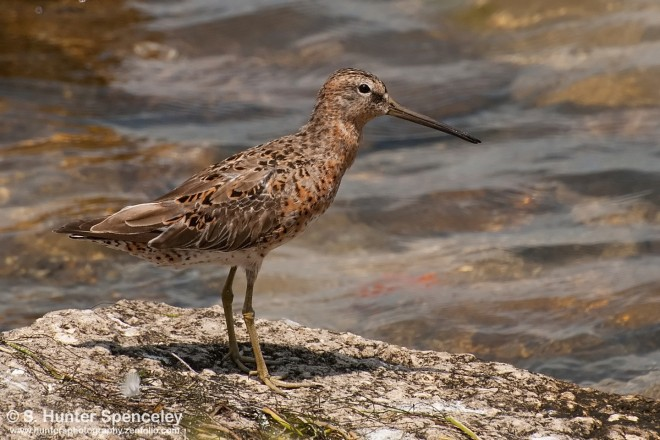 3DSC_3079-hort-billed-Dowitcher