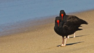 Black Oystercatchers (Haematopus bachmani), Dockweiler State Beach, Los Angeles, California, February 17, 2013, 10:40 a.m., by Donna Schulman