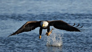 Bald-Eagle.jpg-600x600