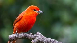 HepaticTanager
