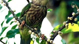 Lineated-Barbet-with-Food-in-Mouth-400KB