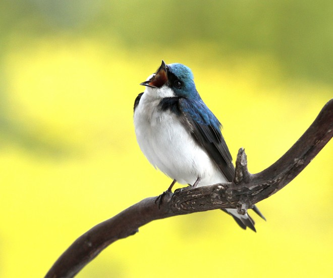 Swallow-Tree-2013-04-07080