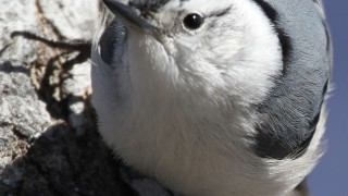 White-Breasted-Nuthatch-close-up2