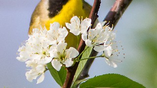 Yellowthroat-Common-6778