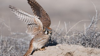 american-kestrel-female-lift-off-dirt-mia-mcpherson-9142