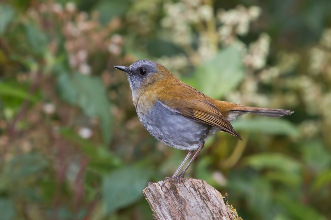 black-billed-nightingale-thrush-8367