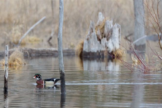 bobvt_20130414_stephenyoungmarsh_woodduck2000b