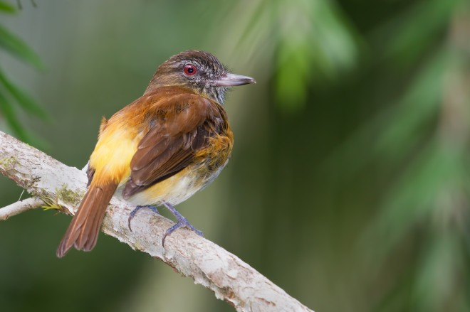 bright-rumped-attilla
