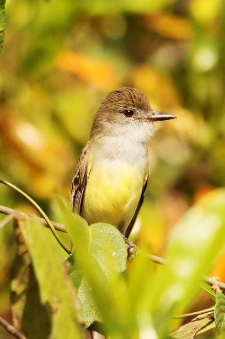 short-crested-flycatcher