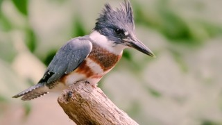A female Belted Kingfisher perches on a stump. Photo by Kelly Colgan Azar (Creative Commons)