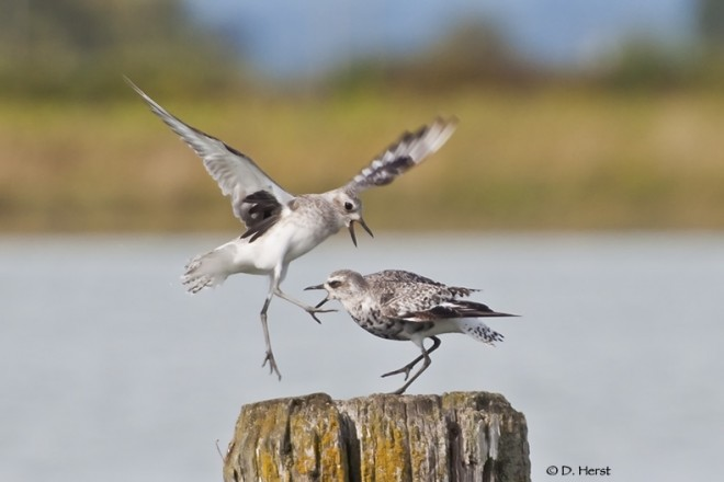 Black-bellied-Plovers-02