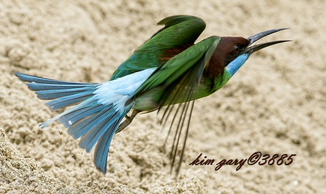 Blue-Throated-Bee-Eater-in-Flight-Watermark