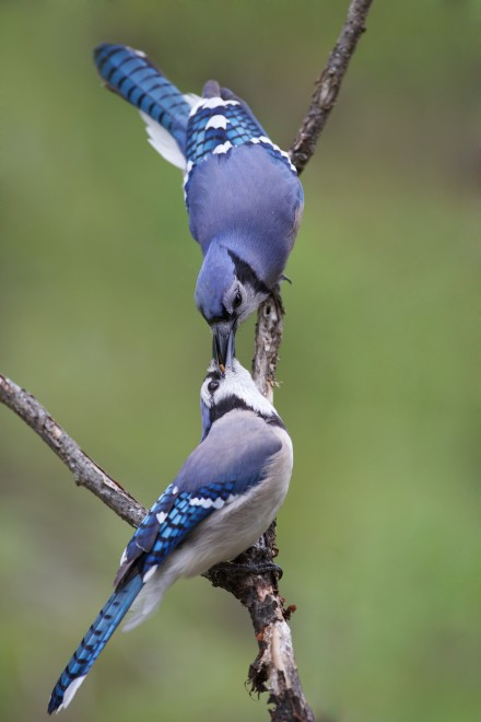Bluejay-pair