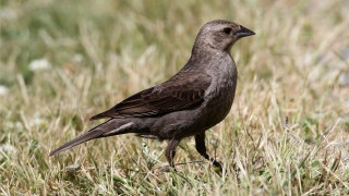 Brown-headed-Cowbird