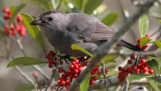 Catbird-with-a-deformed-beak