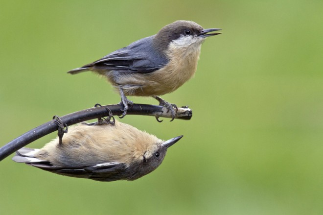 Christine_Haines_PygmyNuthatch-_animal_antics