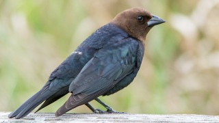 Cowbird-Brown-headed-13-7414