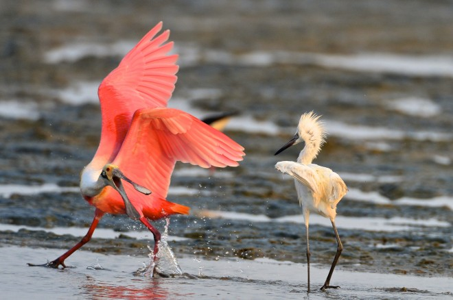 Roseate Spoonbill and Reddish Egret at South Padre Island, Texas, by geraldfriesen .