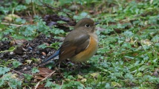DSC_3483-Red-flanked-Bluetail-HR
