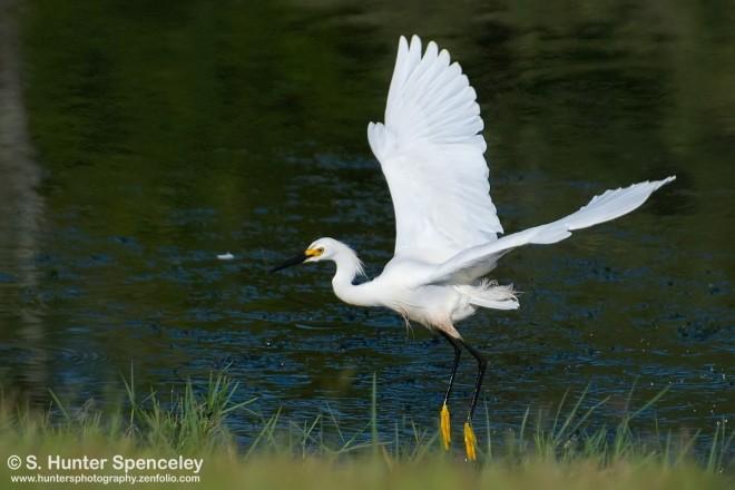 DSC_5372-Snowy-Egret