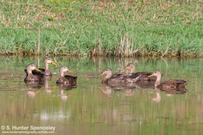 DSC_5464-Mottled-Ducks