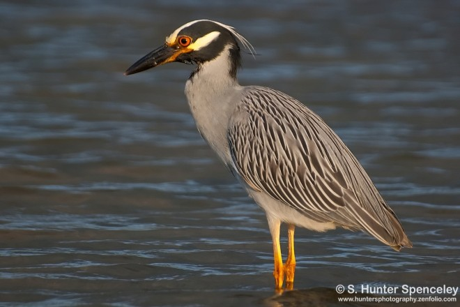 DSC_6230-Yellow-crowned-Night-Heron
