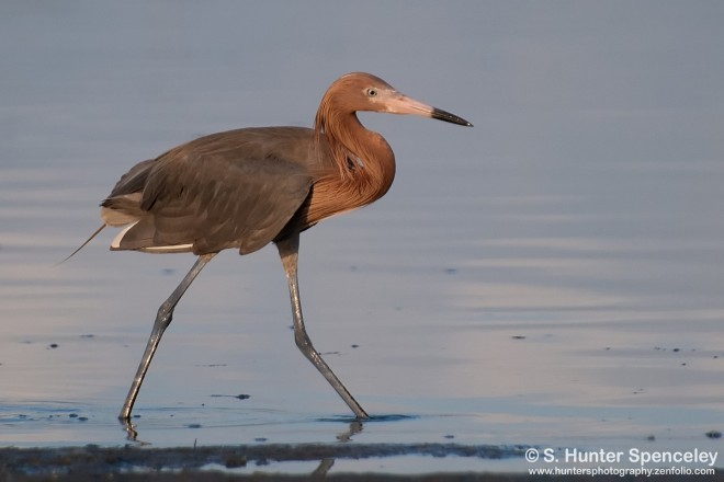 DSC_6630-Reddish-Egret