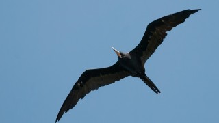 DSC_6808-Magnificent-Frigatebird