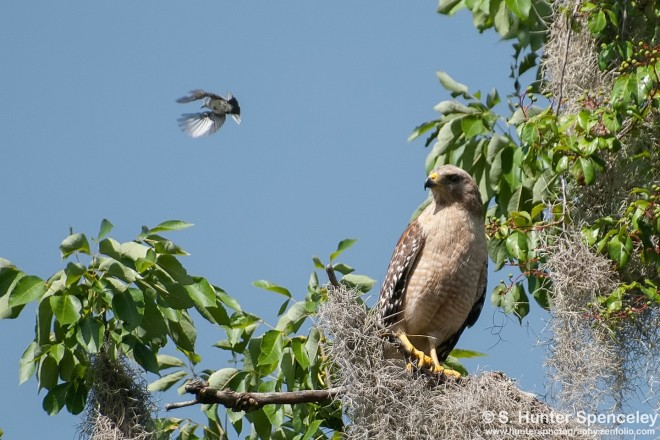 DSC_7120-Blue-gray-and-hawk