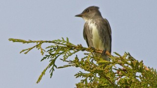 Flycatcher-Olive-sided-13-7529