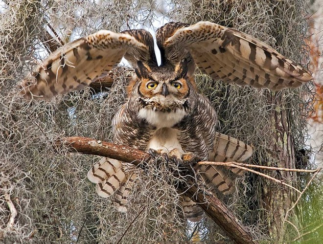 Great Horned Owl, Arthur R. Marshall Loxahatchee National Wildlife Refuge, Florida, by snooked.