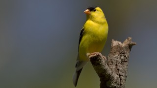 Goldfinch-7_0010