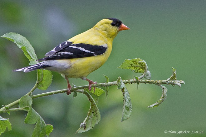 Goldfinch-American-13-0326