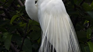 GreatEgret