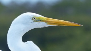 Great Egret birdware