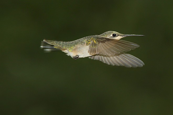 Ruby-throated Hummingbird in Whitehouse, Texas, by docdpp.