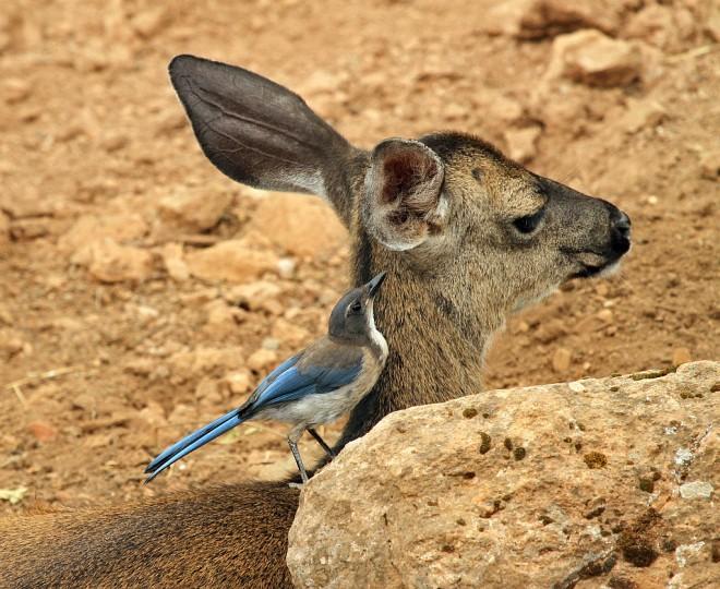 Jay-Scrub-Black-tailed-Deer-2013-06-23-207