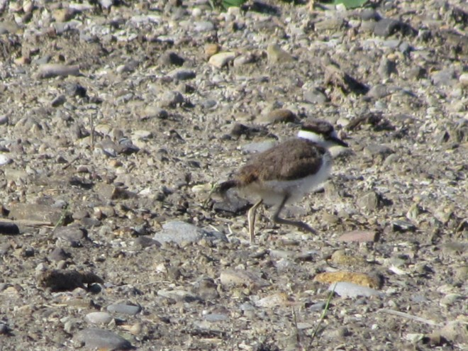 Killdeer-hatchling