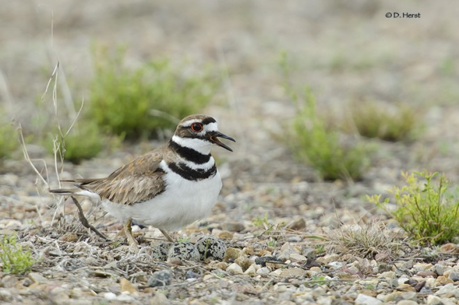 Killdeer-with-eggs