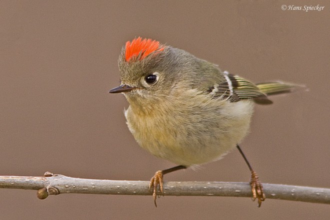 Kinglet-Ruby-crowned-10-0089