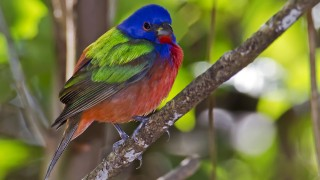 Painted Bunting in Green Cay Wetlands, Florida, by snooked.