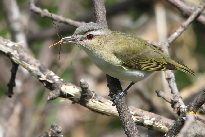 Red-Eyed-Vireo-2013-195bX