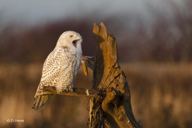 Snowy-Owl-001