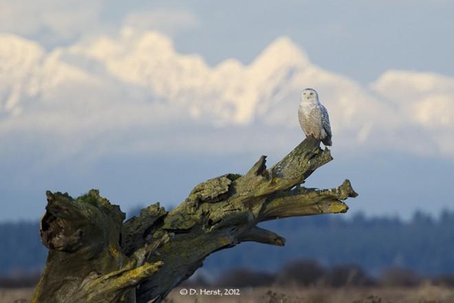 Snowy-Owl-48