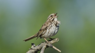 Song-Sparrow-2-MD-052513